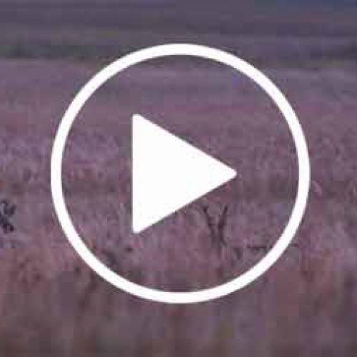 El Corzo Siberiano