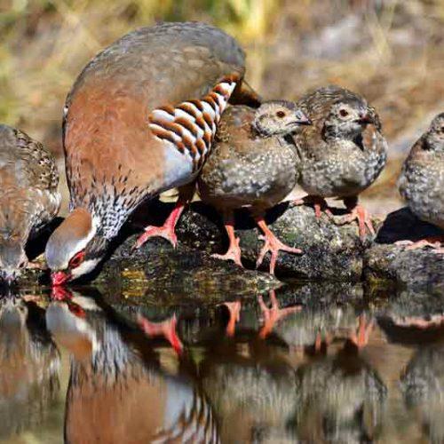 Fundación Artemisan rechaza que la perdiz roja se catalogue globalmente como especie vulnerable