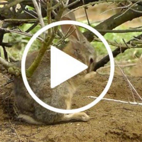 Descaste de conejos en junio