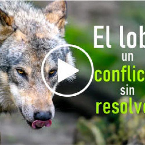 El lobo, un conflicto sin resolver