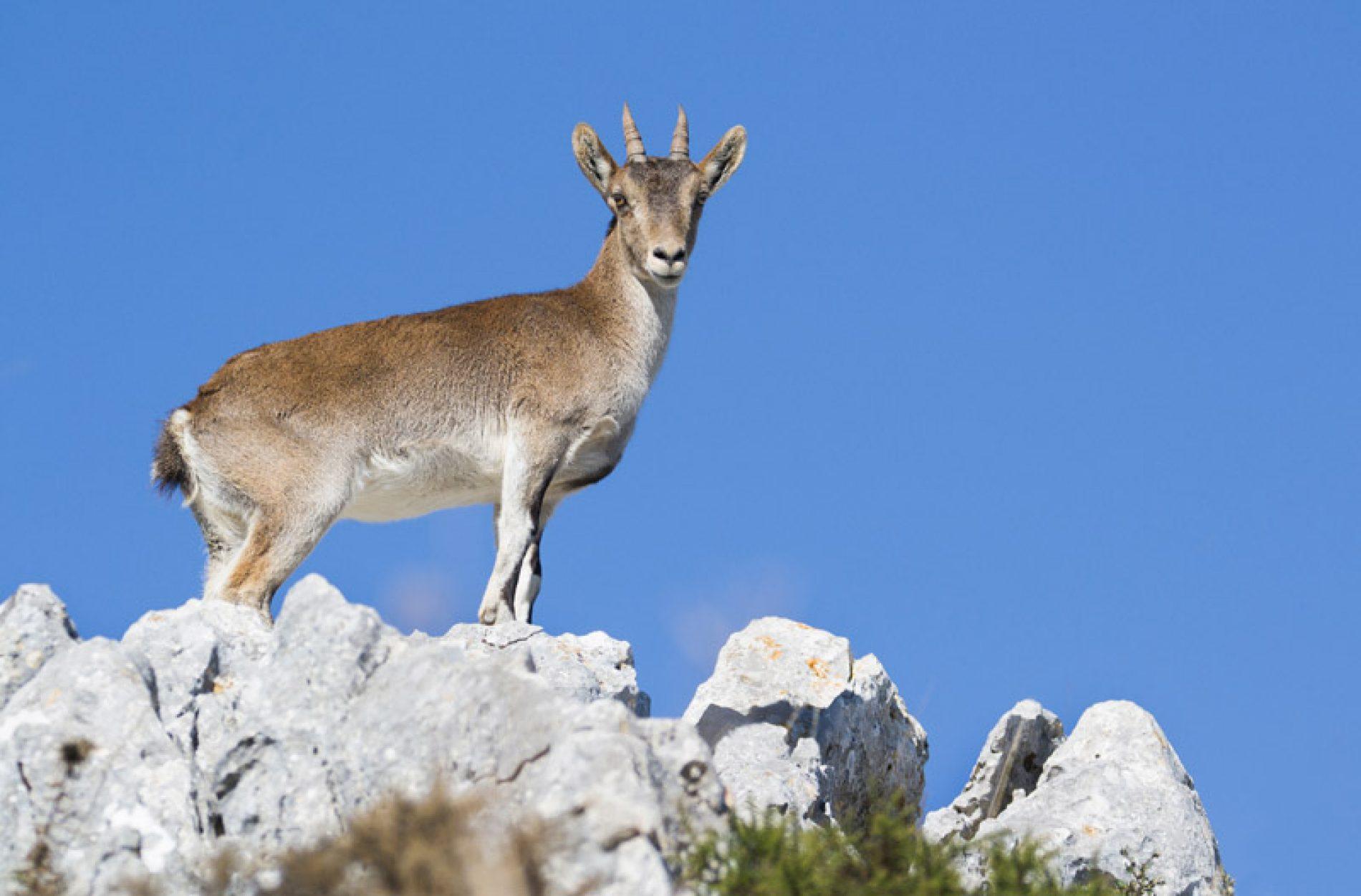 La FMC, califica el proyecto de homologación de la Hembra de Cabra Montés