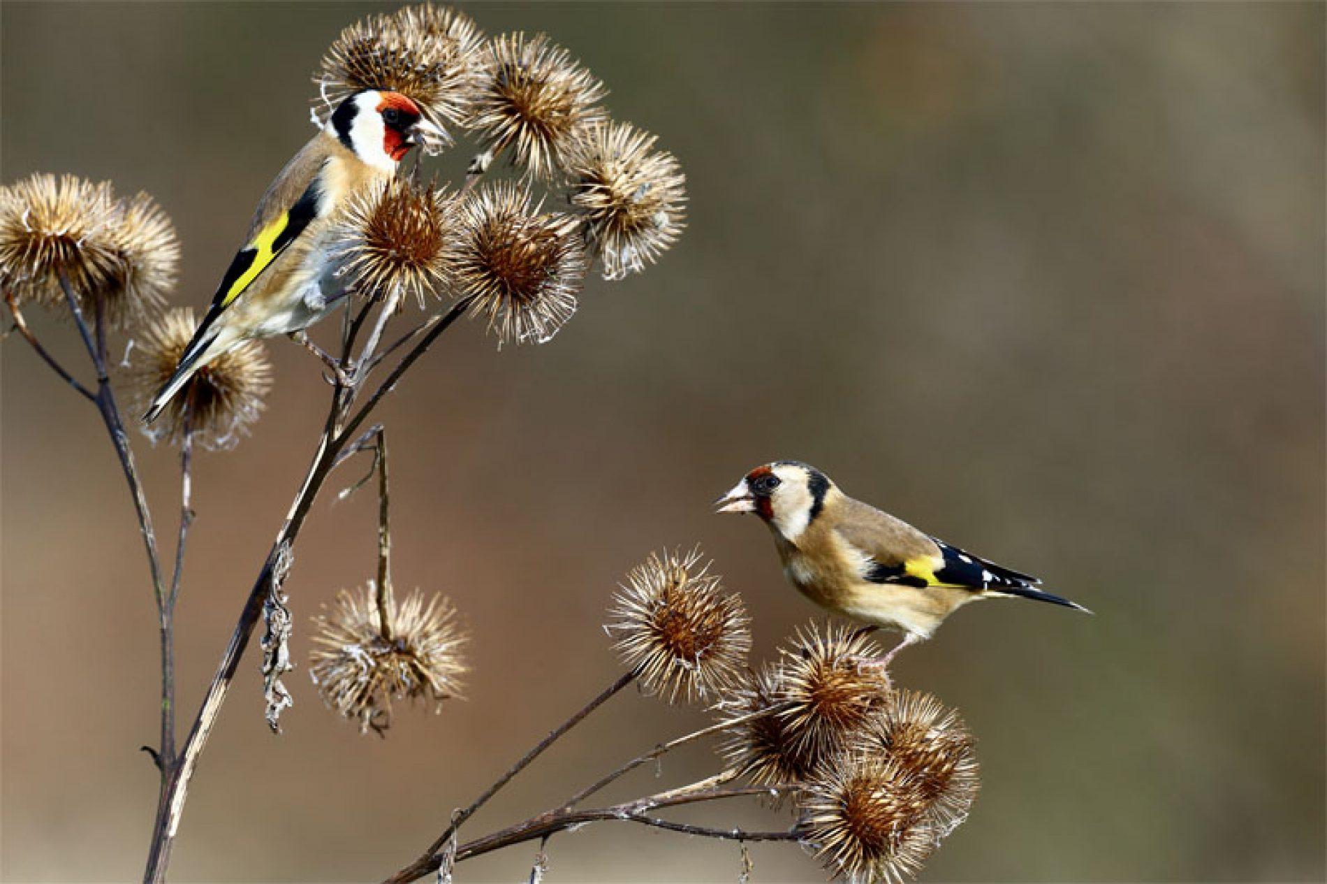 Efecto del fungicida tebuconazol sobre el éxito reproductor de las aves granívoras