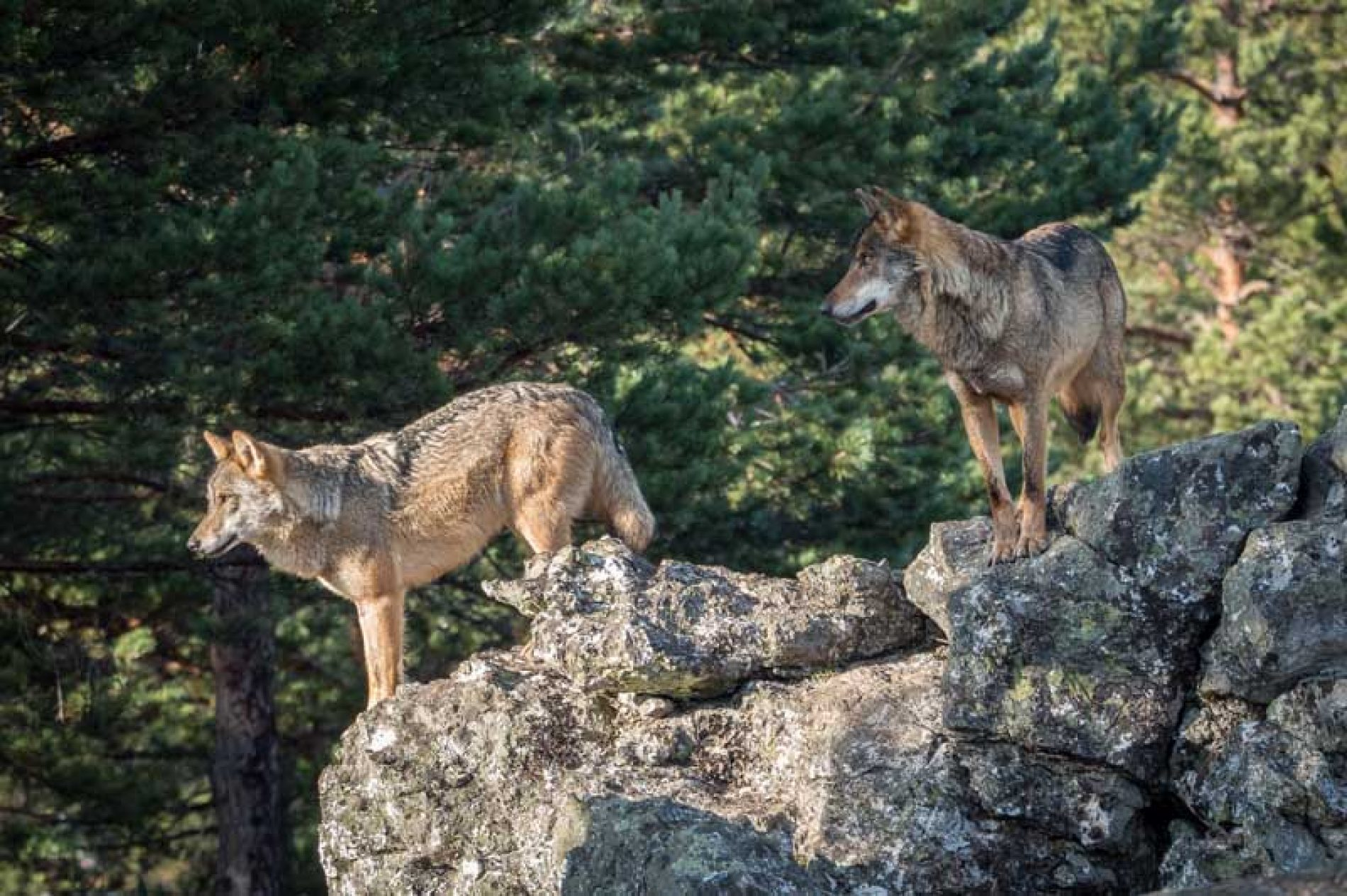 Amenazas y mentiras a las CCAA para que voten a favor de declarar vulnerables la tórtola y el lobo