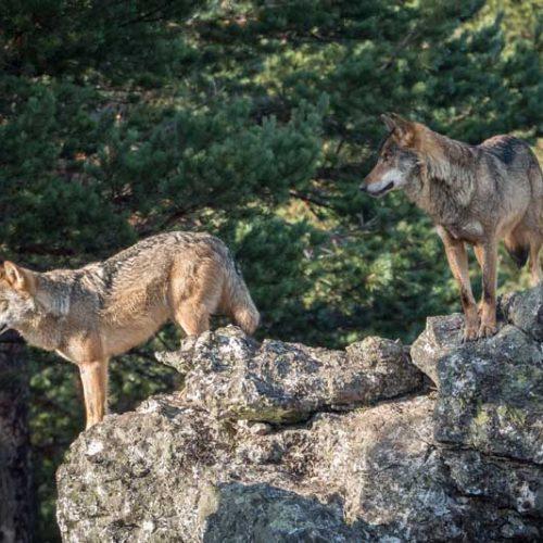 'Lobos y furtivos, la amenaza de Gredos', primera parte del documental de Artemisan sobre esta problemática