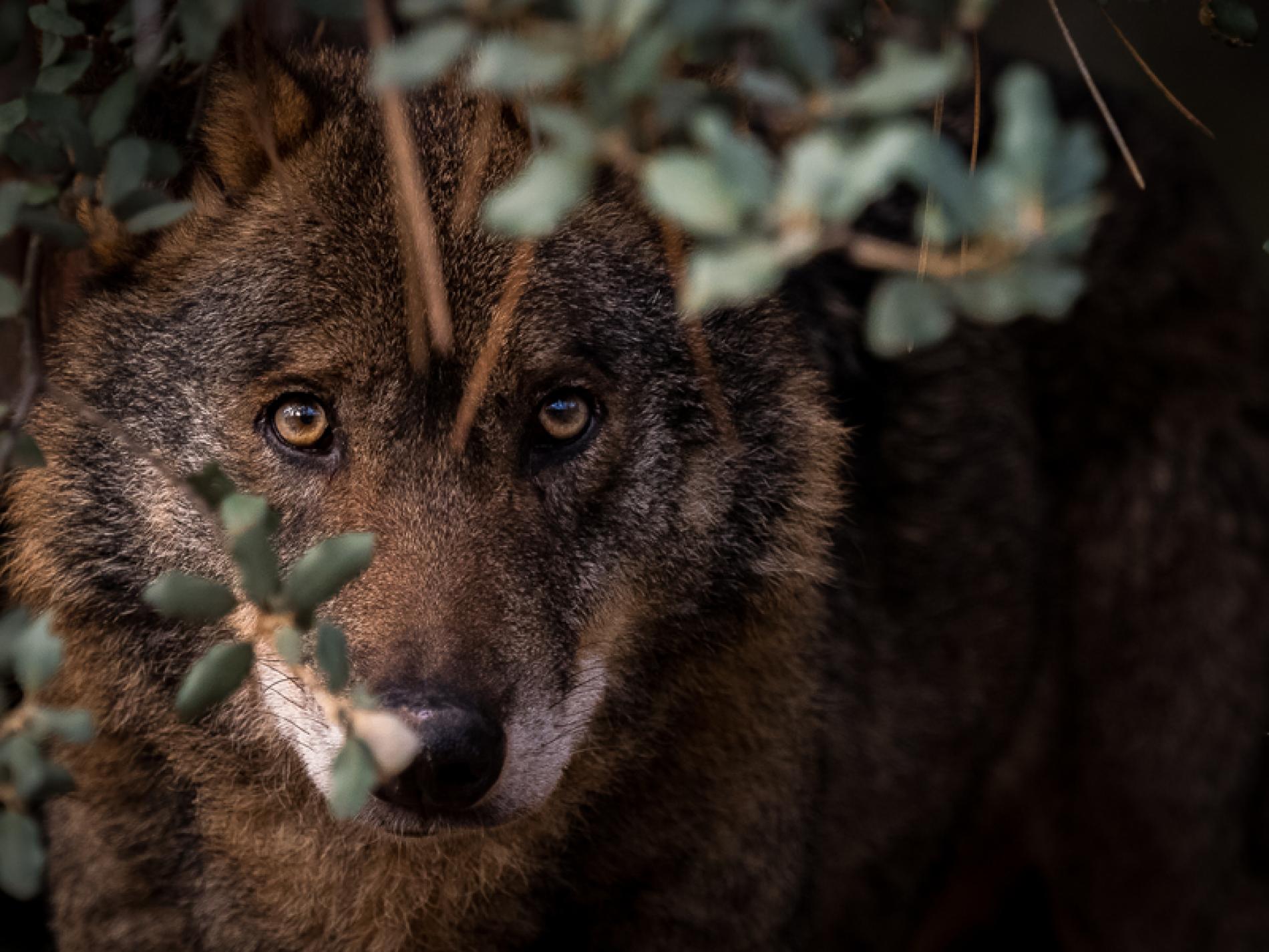 Ganaderos y asociaciones del mundo rural se unen para reclamar una convivencia sostenible con el lobo