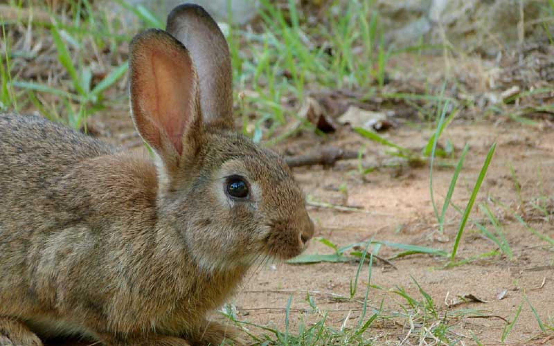 295 municipios de Castilla-La Mancha prorrogan la emergencia cinegética por daños de conejo hasta febrero de 2022
