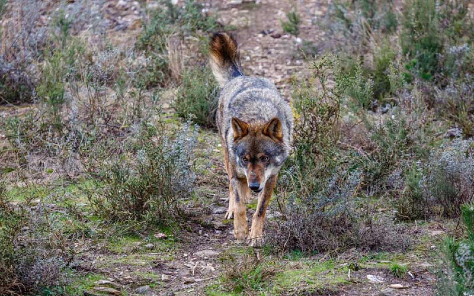 Fundación Artemisan advierte que el borrador del MITECO sobre el lobo carga todo el peso sobre los ganaderos