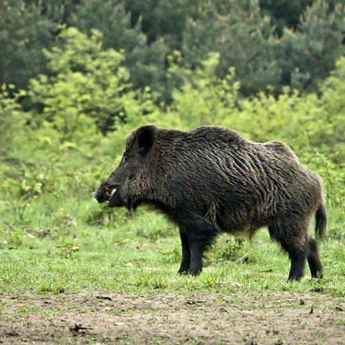 Extremadura aprueba la caza del jabalí al salto, que da respuesta a una demanda histórica del sector