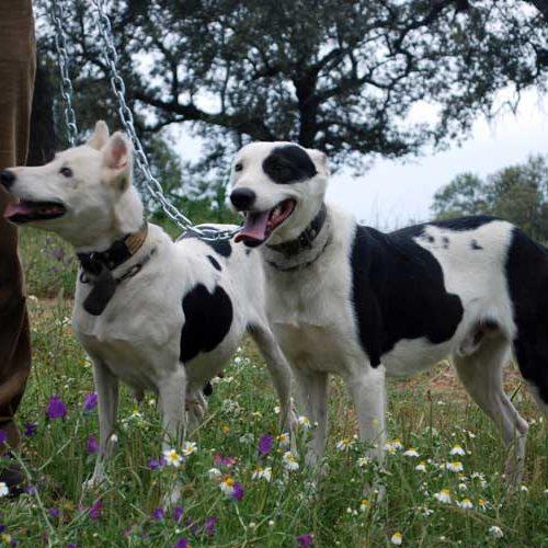 La Junta de Andalucía se equivoca: los perros de rehala no son mascotas