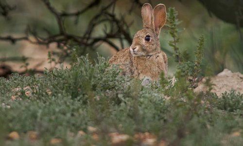 ¿Descaste? O la caza del conejo en verano