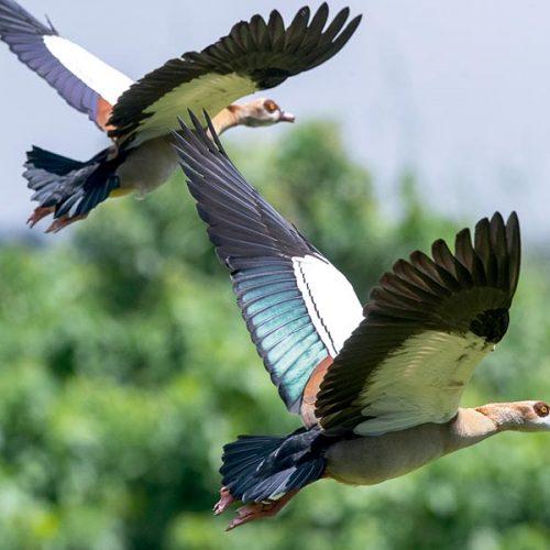 Tarro canelo y ganso del Nilo, dos especies en expansión poblacional