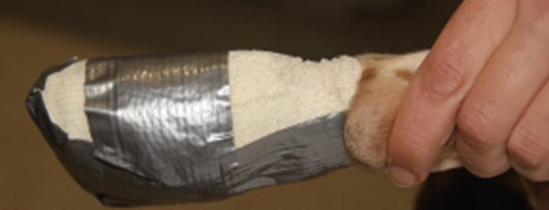 Pata de perro vendada
