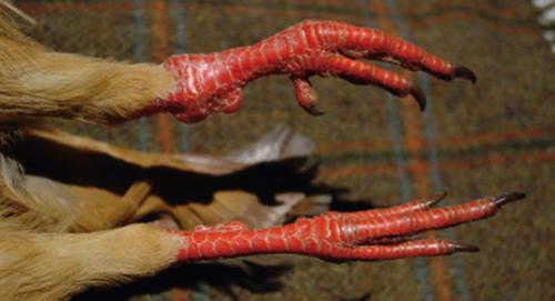 Patas de perdiz roja
