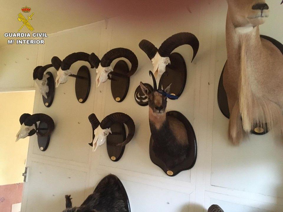 Piezas encontradas en el taller ilegal de taxidermia en San Vicente del Raspig