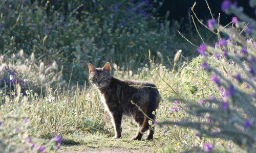 Artemisan estudia los efectos de los gatos domésticos en la fauna silvestre en Castilla-La Mancha
