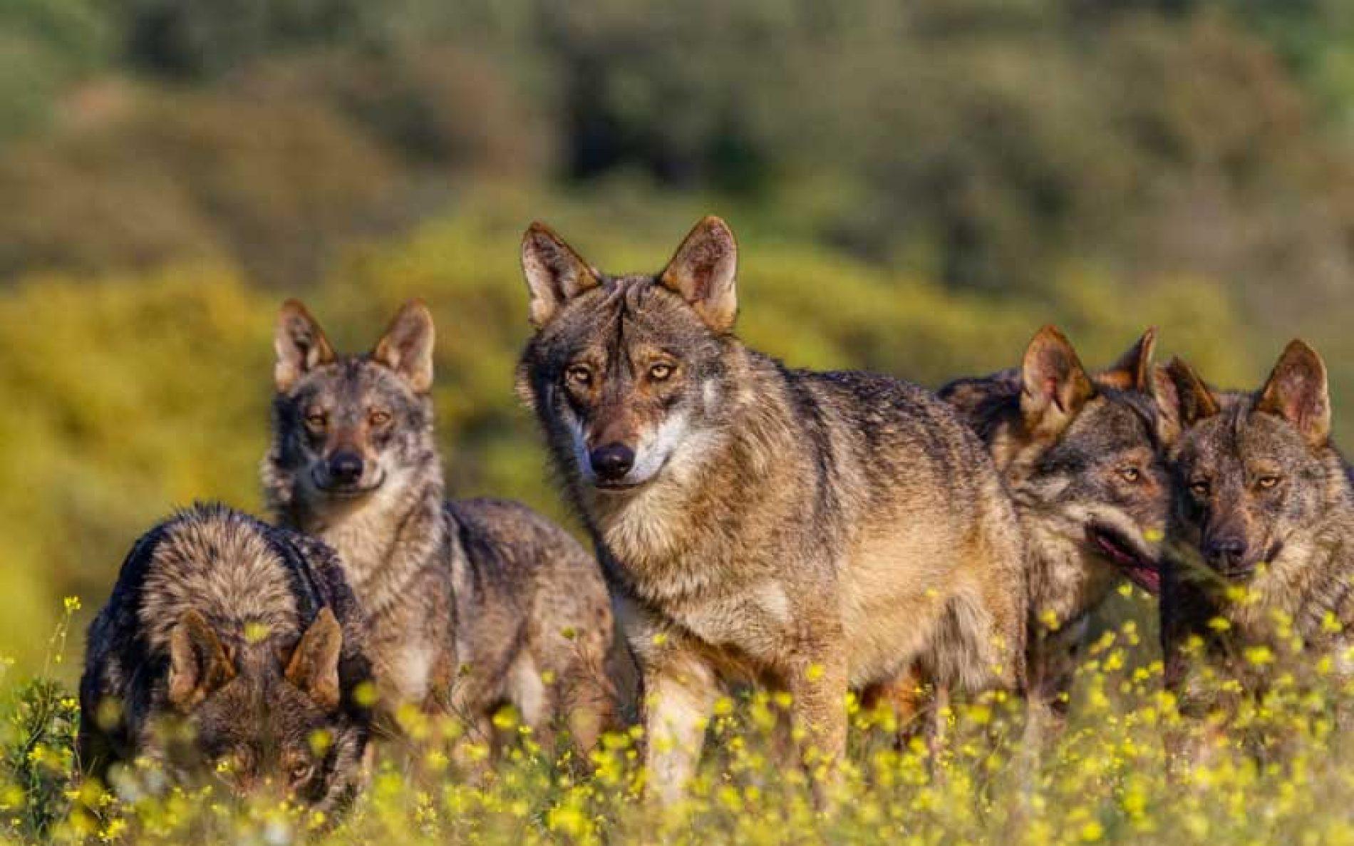 La Plataforma Ganader@ Viv@ rechaza la protección del lobo y advierte de sus consecuencias para el mundo rural