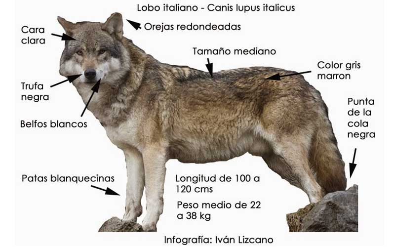 lobo italiano