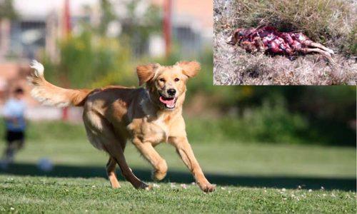 Los lobos devoran a una perra que paseaba a las puertas de la ciudad de Valladolid