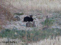 conejo-negro-y-mas