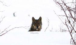 lobo-alejando-diez